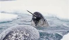 narwhal - Bing Images
