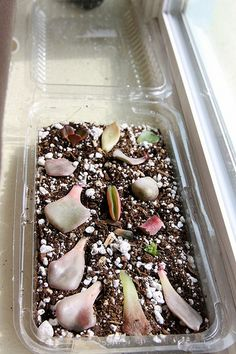 "M favorite pastime -- propagating succulents via leaf cuttings. Use any ""takeout"" container you're for with to keep closed for humidity, remembering to open once a day to let in fresh air. I make use of all of my leftover containers; they're usually good for something!"