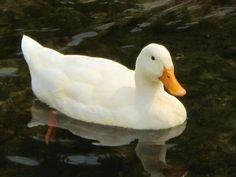 History of Pekin Ducks ~ via CountryFarm-Lifestyles.com
