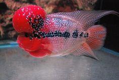 FloWerHorn LiVe Fish (MasterPiece SRD) #1