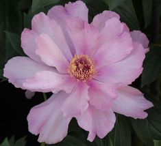 First Arrival - Pink Intersectional Peony - Paeonia -Kelways