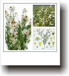 Mușețel - O plantă cu rol calmant și relaxant Spirituality, Healing, Plant, Varicose Veins, Spiritual