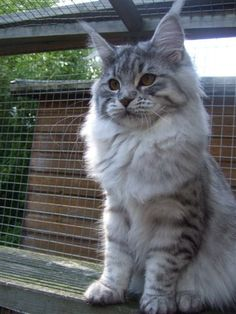 Coonflakes Anoocah. Maine Coon cat