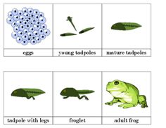 MontessoriMom.com - Frog Life Cycle Newsletter
