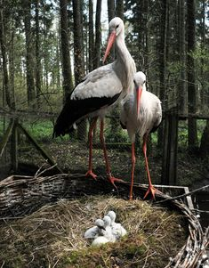 Two storks care for their chicks on April 23 at the wildlife park in Eekholt, Germany.