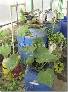Cucumber hydroponics