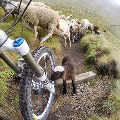 Hello #cutie! Curious #sheep taking a close look at my #bike on a trail in the #Dolomites. @gopro #hero4black #mtb #getoutside #travelstoke #südtirol #gopro #rotwildbikes #g1 #rotwildg1