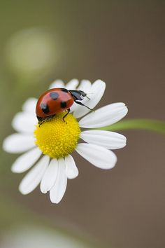 ladybug on daisy Beautiful Bugs, Beautiful Flowers, Beautiful Pictures, Beautiful Creatures, Animals Beautiful, Animals And Pets, Cute Animals, Bugs And Insects, Tier Fotos
