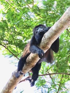 Howler - Costa Rica. Tamarindo - so typical to see monkeys here ! :))) been here