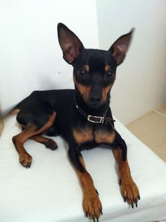 Miniature pinschers are an active breed and will need access to a fenced yard, or be provided a day-to-day walk.