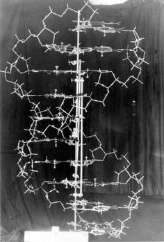 This is the original model Francis Crick and James Watson built, and it is the first accurate depiction of the structure of DNA.
