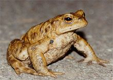 family Bufonidae - true toads