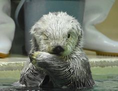 """Daily Otter on Twitter: """"Otter gives the camera the cutest wink: https://t.co/gQKDEFEoeZ Photo by @shige_tamal https://t.co/sg8Pu8mAPE"""""""