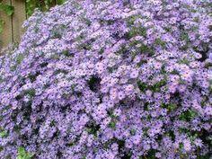 Aster novae-angliae 'English Countryside' - New England Aster www.vanbloem.com #vanbloemgardens #perennial