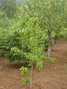 If you have a fruit tree that bears tasty fruit and you would like to have another, consider growing a second fruit tree from a cutting of the original. Fruit trees propagate through seed and branch cuttings. Dwarf Fruit Trees, Growing Fruit Trees, Growing Tree, Growing Plants, Growing Roses, Fruit Garden, Garden Trees, Edible Garden, Garden Plants