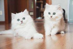 Соревнуются у кого больше глаза. #котгучи... #cats #cat #catlover #lovecats #funny #fun #cute #socute #feline #felines #felinefriend #fur #furry #paw #paws #kitten #kitty #kittens #kittycat #kittylove #fluffy #fluff