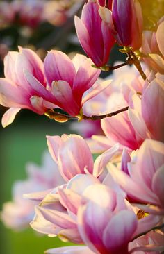 """Magnolia Macro"" ~ A Tulip Magnolia Tree in Bloom as Photographed by J. Michael Darter"