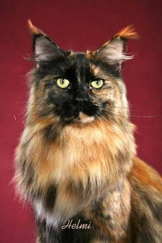 maine coon | Meine Katze: Maine Coon: Die Amerikanische Langhaar Katze