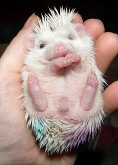 Tell me you don't want to rub that cute little pink belly. Maybe one of the best hedgie images
