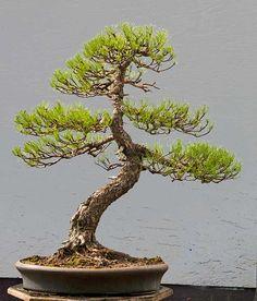 Walter Pall Bonsai Adventures: Mugo pine #6