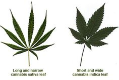 so now you know what to expect from your plant  ( marijuana cannabis )