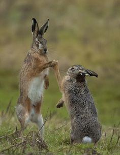 Boxing Hares by Gerhard Kornelis
