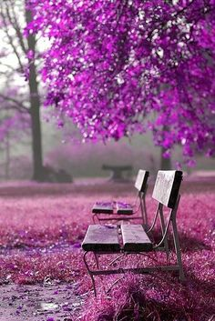 Benches surrounded by pretty shades of purple...