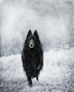 © wolf shadow photography #dogs #Groenendael