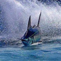 Marlin -PHOTOS - GuyHarvey.com