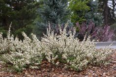 PAWNEE BUTTES® Sand Cherry (Prunus besseyi) is a graceful, ground covering form of our native sand cherry. Lustrous, green leaves turn bright red and purple in fall. Fragrant, white flowers in April produce heavy crops of black cherries in summer that are attractive to wildlife. Shrub. http://plantselect.org/plant-details/prunus-besseyi/