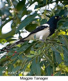 Magpie Tanager - © Laura L Fellows and Exotic Birding Tours