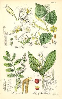 Antique print: picture of White Lily, Lime (or Linden Tree - not to be confused with the fruit tree) - Liquorice (used since Roman times), Lily of the Valley