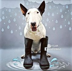 When Life Gives You Rain... Play In The Puddles ~ Nova The Bull Terrier