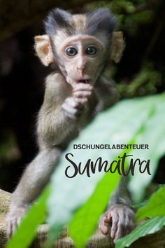 Im malerischen Dorf Bukit Lawang startete unser kleines Dschungelabenteuer. Unfassbar, aber wahr ... wir durften Orang-Utans in freier Wildbahn beobachten und haben doch tatsächlich im Regenwald übernachtet. In diesem Artikel zeigen wir euch unsere schönsten Reisemomente aus Sumatra. Blog, Animals, Cultural Diversity, Travel Advice, Adventure, World, Viajes, Nice Asses, Animales