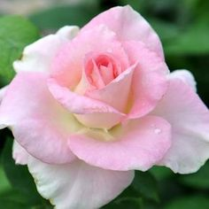 Falling In Love™ - Hybrid Tea Roses - Roses - Heirloom Roses