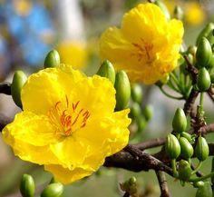 Cách lặt lá hoa mai tết để nở đúng giao thừa