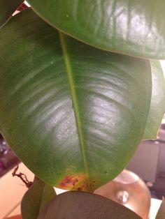 Ficus Tree, Annual Plants, Fungi, House Plants, Plant Leaves, Trees, Ficus, Mushrooms, Indoor House Plants