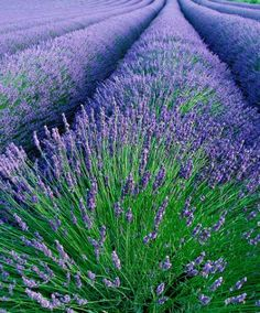 """""""La route de la lavande"""" passing through the Provence region of southern France. This area has remained the largest producing lavender up today, and companie. Lavender Ice Cream, Lavender Blue, Lavender Fields, Lavender Flowers, Lavander, Lavender Plants, Growing Lavender, French Lavender, Edible Lavender"""