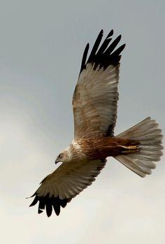 Bruine kiekendief. De buizerd en de bruine kiekendief kunnen het beste uit elkaar worden gehouden door de tekening op de ondervleugels en met enige oefening ook door het gehele vliegbeeld.