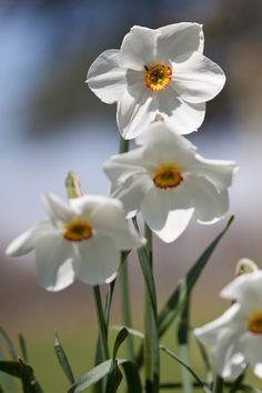 Narcissus, Scotney Castle, Kent, England