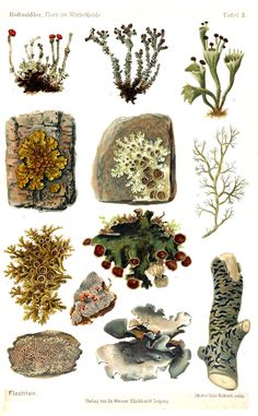 Flora im Winterkleide (1908) by Emil Adolf Rossmässler. Moss and lichens.