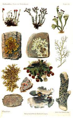 Flora im Winterkleide (1908) by Emil Adolf Rossmässler. Moss and lichens.