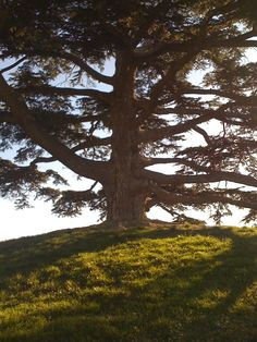 cedar of lebanon tree in the langhe