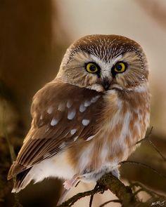 Northern Saw-Whet Owl - Owl Woods, Greece, NY / Matt Bango