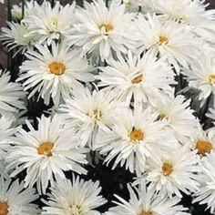Leucanthemum Crazy Daisy - perennial