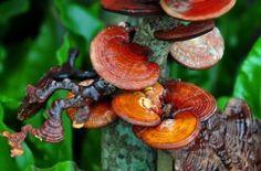 Is Organo Gold coffee a Scam? Mushroom Fungi, Coffee Packaging, Natural Health Remedies, Free Food, Benefit, Stuffed Mushrooms, Skin Care, Plants, Nadir