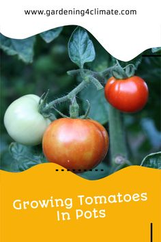 Growing Tomatoes In Pots is very easy. With these tips you will grow great tasting tomatoes in containers and grow bags! You can grow container tomatoes in conservatories, glasshouses, patios or in a sunny spot in the house. Growing them in pots can be done even in the smallest city gardens, on balconies or indoors! #gardeningtips #organicgardening #permaculture #growyourownfood Growing Tomatoes Indoors, Tips For Growing Tomatoes, Growing Tomatoes In Containers, Grow Tomatoes, Home Grown Vegetables, Planting Vegetables, Organic Vegetables, Growing Vegetables, Starting A Vegetable Garden
