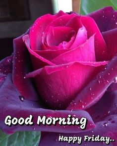 Good Morning Happy Friday, Mornings, Rose, Flowers, Plants, Pink, Acre, Plant, Roses