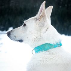 There's no question about it Leia looks stunning in today's Turquoise and Gold collar!!  The bright blue stands out so nicely on her coat! Photo by @agirlandhershepherds #GrayandHound #ghcustomer #springcollection #whitegsd . Use: TeamGH for 20% off of $15 at GrayandHound.com by grayhoundcollections#dogcollar #lacyandpaws