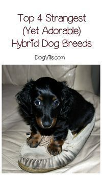 Hybrid dog breeds are super popular right now, and for good reason! While these four may be strange mixes, they're definitely adorable! Check them out! Dog Breed Info, Dog Breeds List, Group Of Dogs, What Dogs, Dog Mixes, Dog List, The Perfect Dog, Different Dogs, Mixed Breed